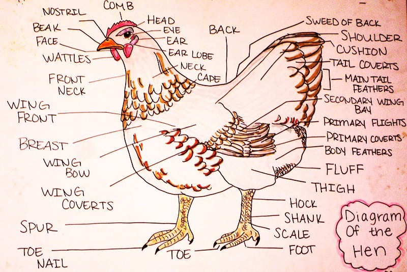 Diagram of a fowl radio wiring diagram chicken labelled diagram vetchick rh vetchick wordpress com diagram of a flower for kids diagram of a flower pistil ccuart Gallery